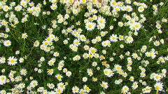 Girl falls on camomile field - stock footage