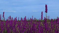 Walking across the field lupine Stock Footage
