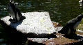 Penguins on rocks and in pond at sunny day HD Footage
