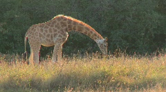 A giraffe grazes in golden grass on the African savannah. Stock Footage