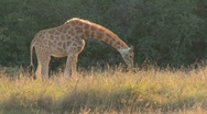 Stock Video Footage of A giraffe grazes in golden grass on the African savannah.