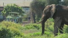 A massive African elephant poses at the entrance gate to Amboceli National Park Stock Footage