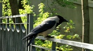 Grey crow Stock Footage