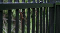 Female Male Lizard on Fence Stock Footage