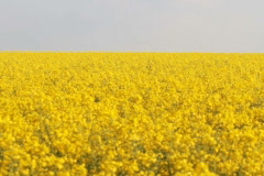 Field of Rapeseed Stock Footage