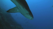Sand Tiger Shark Stock Footage