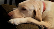 Dog Relaxing on Couch  Stock Footage