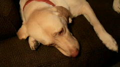 Lazy dog on couch  Stock Footage