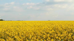 Field of Rapeseed (Pan) Stock Footage