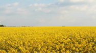 Stock Video Footage of Field of Rapeseed (Pan)