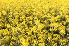 Field of Rapeseed, close up Stock Footage