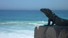 Mexican Iguana Stock Footage