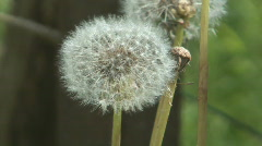 Blowball. Stock Footage
