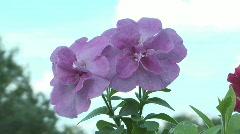 Petunia. - stock footage