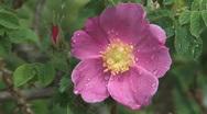 Rose bush. Stock Footage