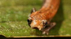 Amazon Climbing Salamander (Bolitoglossa altamazonica) Stock Footage