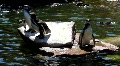 Penguins on rocks and in pond at sunny day Footage