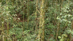 Liana in tropical rainforest Stock Footage