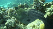 Stock Video Footage of Giant Moray Eel with mouth open.