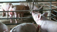 Hogs drink the water in the piggery - stock footage
