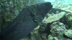 Giant Moray Eel Stock Footage