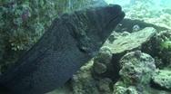 Stock Video Footage of Giant Moray Eel