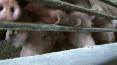 Pig farm - stock footage