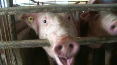 Pig farm Stock Footage