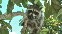 Stock Video Footage of Raccoon 001 (1080p 23.976)