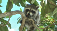 Raccoon 001 (1080p 23.976) Stock Footage