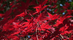 Red lall leaf zoom Stock Footage