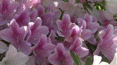 Azalea close up zoom Stock Footage