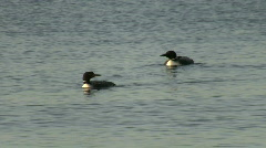 Great Northern Loons Stock Footage