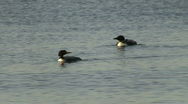 Stock Video Footage of Great Northern Loons
