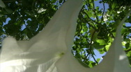 Stock Video Footage of white trumpet flower