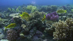 Yellow Tropical fish with Eel Stock Footage