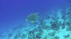 Hawksbill Turtle - High angle view - stock footage