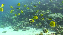 Yellow Tropical fish Stock Footage