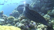 Stock Video Footage of Free swimming Giant Moray Eel