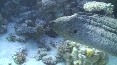 Giant Moray Eel - Swimming - Side view Stock Footage