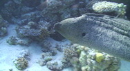 Stock Video Footage of Side view of a Free swimming Giant Moray Eel