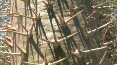 Spiney cactus pan upward Stock Footage