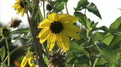 Yellow flower in wind Stock Footage