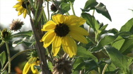 Stock Video Footage of yellow flower in wind