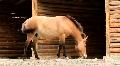 Przewalski horse HD Footage