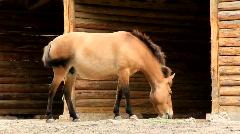 Przewalski horse Stock Footage