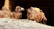 Two-humped camels Stock Footage
