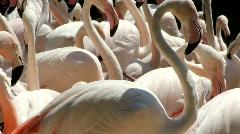 White Flamingos swarm very close up Stock Footage