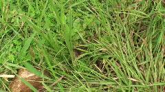 Malawi: caterpillar in a grass 2 Stock Footage