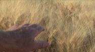 Hand Sweeps Wheat Field Stock Footage